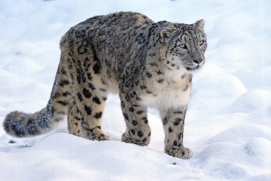 Snow+leopards+no+longer+endangered