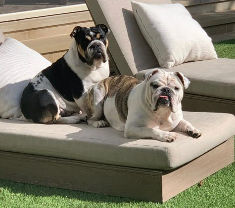 Daisy and Otis, two English Bulldogs, enjoy sunbathing outside. Daisy and Otis typically spend hours outside enjoying the weather when it